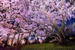 Cherry-blossom_01.jpg